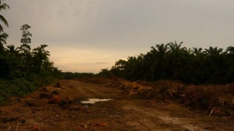 Freshly cleared land for oil palm on the village borders.